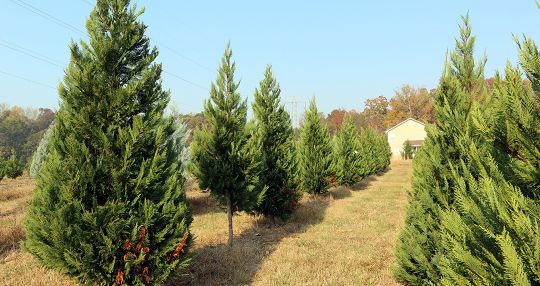 Christmas tree farms expecting a strong season