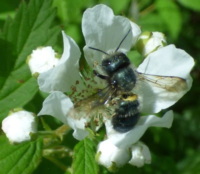 A blue-orchard bee pollinates a native blackberry blossom. (Photo/Ken Carman)